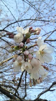 sakura in chiba