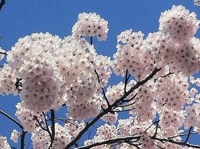 プリッと咲く青森の桜。このプリプリ感が大好きです。