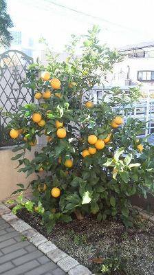 駒井家のレモン。豊作です。