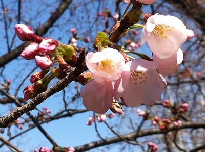 一足先に東京の桜をお届けです。