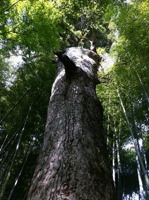 竹林に囲まれたもみの木。空気が美味しかったです。