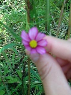 こんなに小さなコスモスも、一生懸命咲いていました。