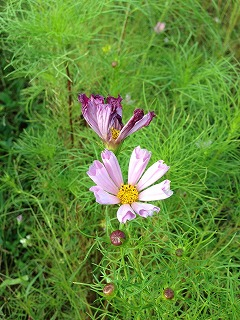 「シーシェル」 花びらが筒状の品種です