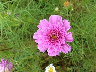 「ダブルクリック」 珍しい八重咲き品種です