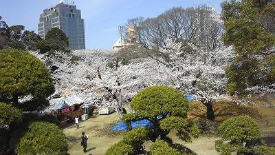 千葉の桜。青森も早く桜が咲かないかな。