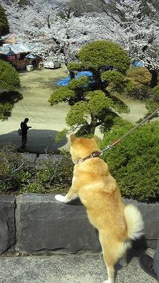 おまけ・うちのわんこ。一応、桜を眺めている?!のかな…