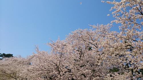 花びらひらり。青空との共演も