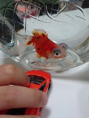 おもちゃの車を見せられている金魚