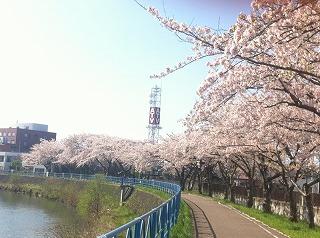 震災の年に力強く咲いた桜