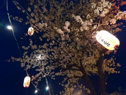 風で乱れる提灯と桜